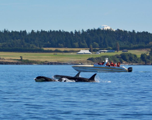 Whale Whatchers en Orca's