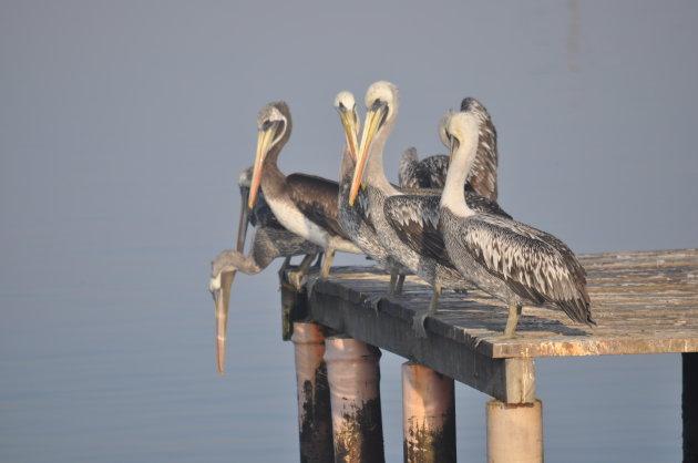 Hanggroep pelikanen