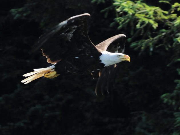 Timing met Bald Eagle