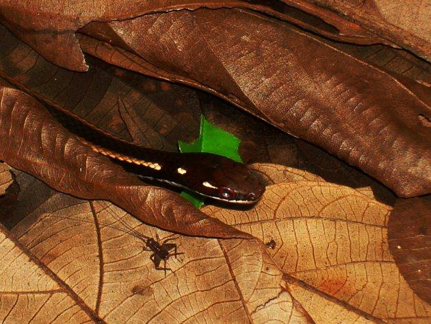 Roadrunner Snake