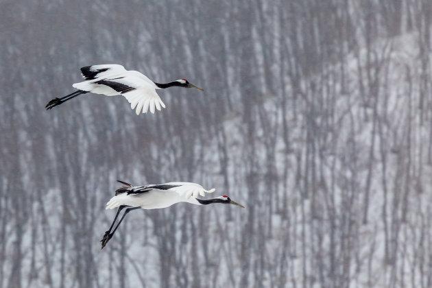 Landing van twee Japanse kraanvogels