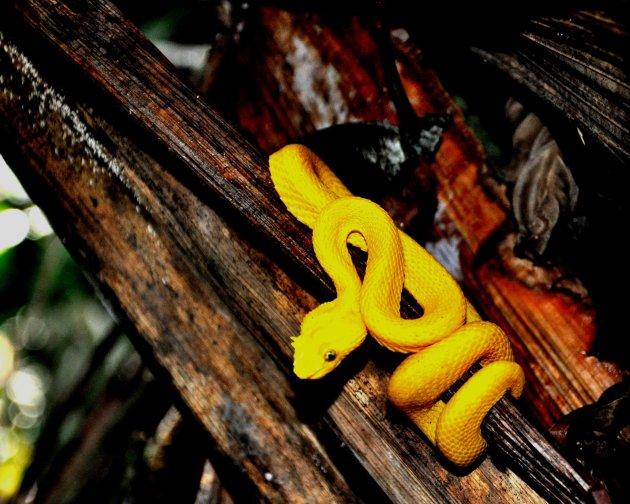 De dodelijkste slang van Costa Rica