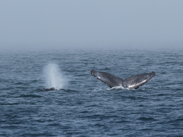 Double Luck Humpback