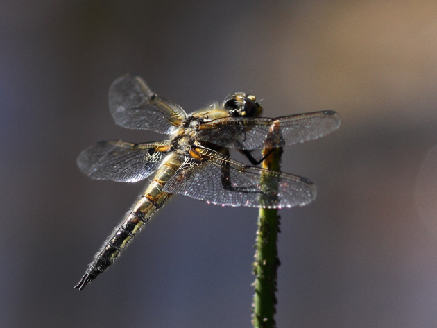 Dragonfly in Canada