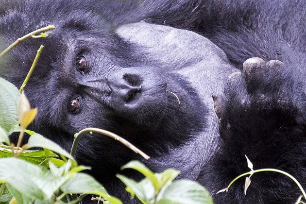 ontmoeting met de berggorilla's