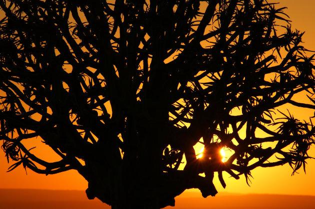 Kokerbomen bij zonsondergang