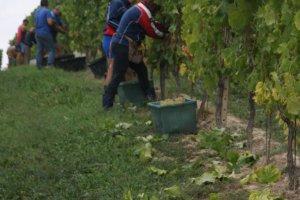 Een perfecte dag om druiven te plukken