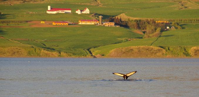 Walvis voor de deur in Akureyri