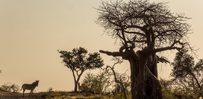 Indrukwekkende baobab, Mapungubwe