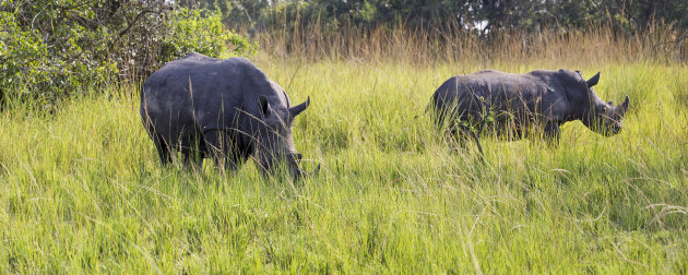 Op neushoornsafari in Oeganda