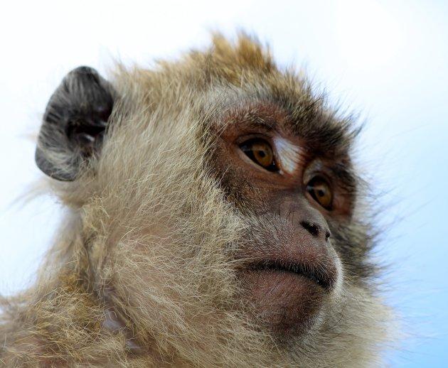Verlegen aapje