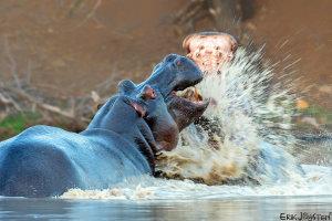 Hippo gevecht!