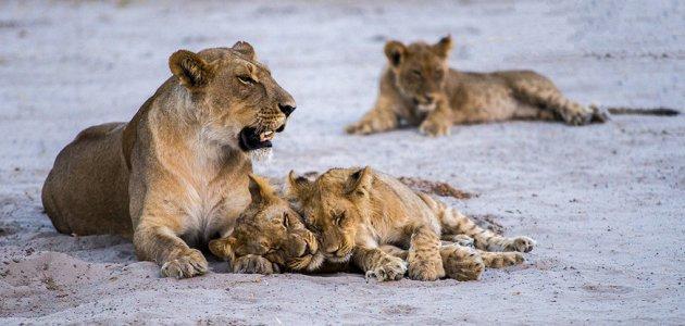 Leeuwen bij Savuti Chobe NP
