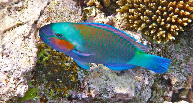 Een blue parrot fish