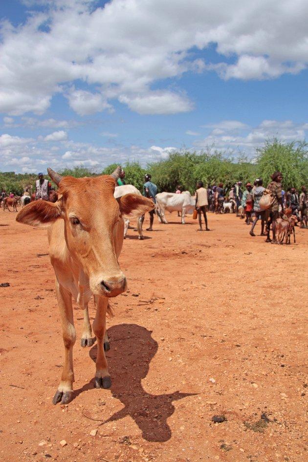Koe op de markt