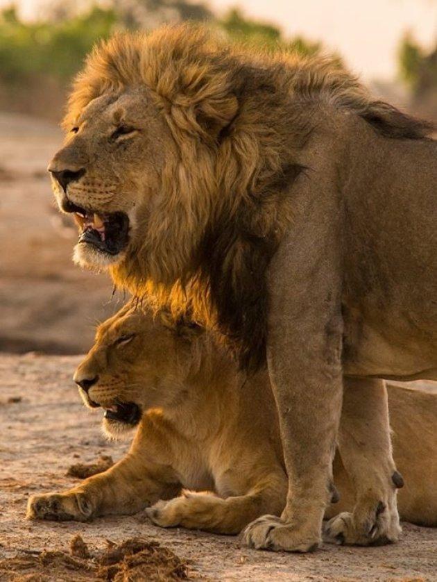 Leeuwen bij Savuti