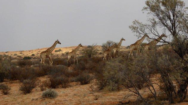 Kudde giraffen