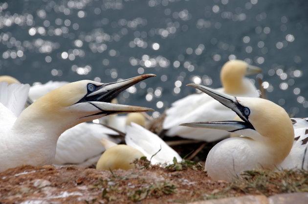 Bekvechten op de vogelrots