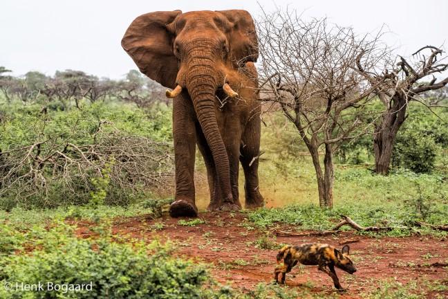boze olifant in Zimanga GR