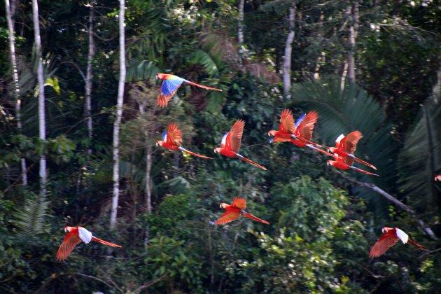 Scarlet en blue-and-yellow macaws kijken bij swerelds grootste macaw lick
