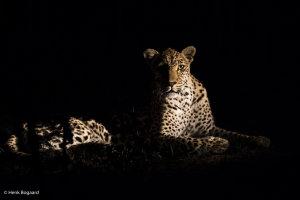 luipaard in zijlicht in Sabi Sands GR