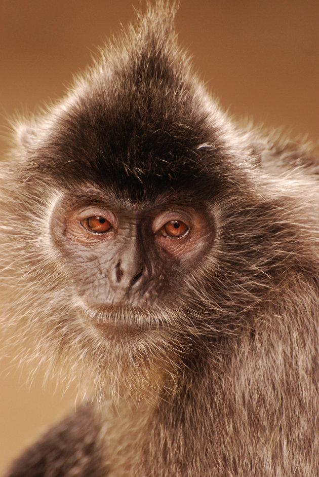 Silverleaf monkey in Sabah
