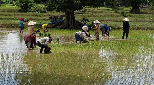 De rijstplanters van Don Det