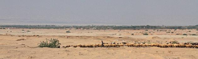 Panorama... man met veel schapen