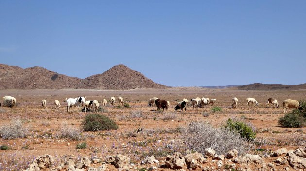 schapen en geiten kudde