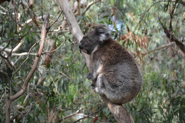 Teddybeer van Australië