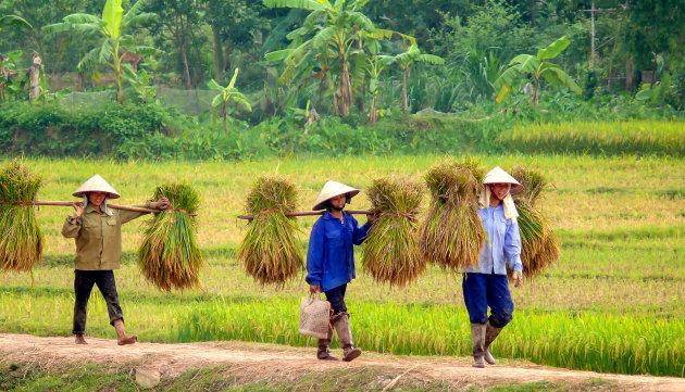 De rijstoogst is in volle gang!!