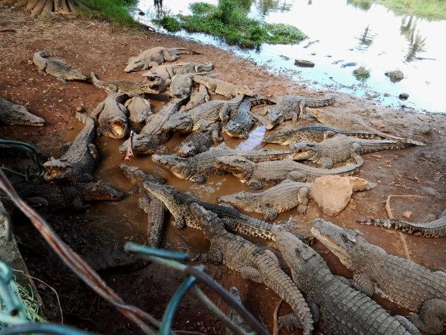 Cubaanse Krokodil