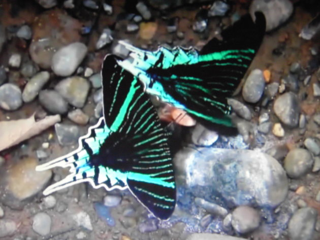 zwaluwstaarten