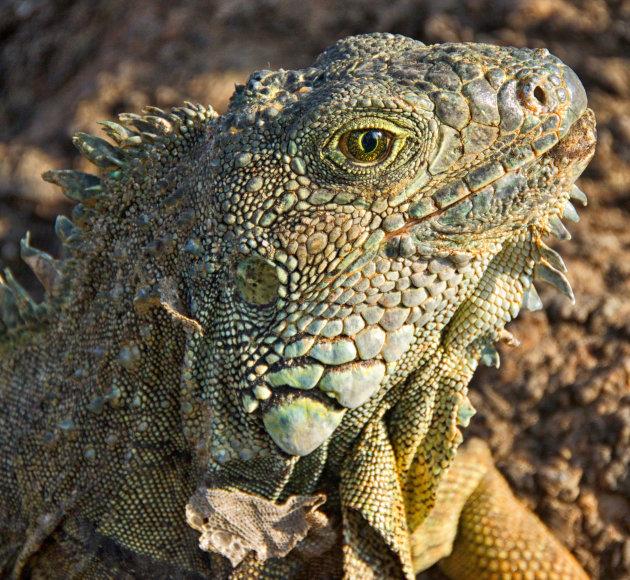 Groene Iguana ogen