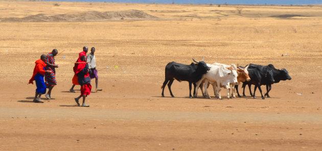 Masai met hun kudde