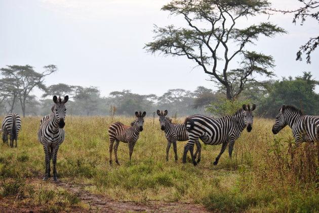 Zebra's in Lake Mburo NP