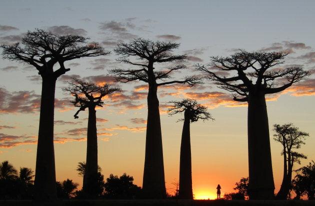 'Allée des Baobabs'