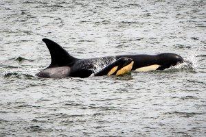 Orka's spotten bij Vancouver (met adresgegevens)