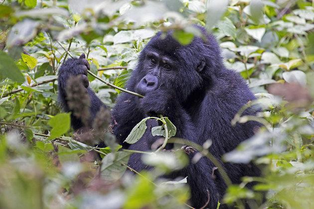 ontmoeting met berggorilla's