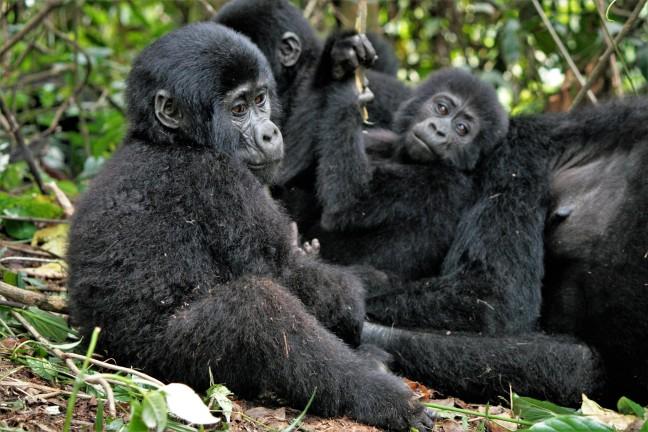 gevonden: gorilla's in Bwindi
