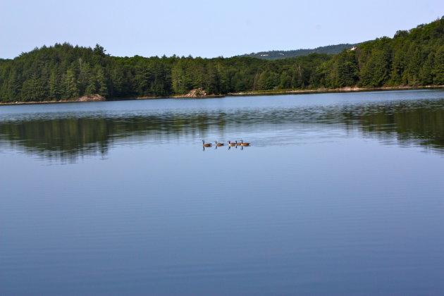 Canadeze ganzen op Norway Lake