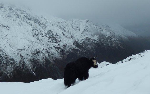 Yak in de sneeuw