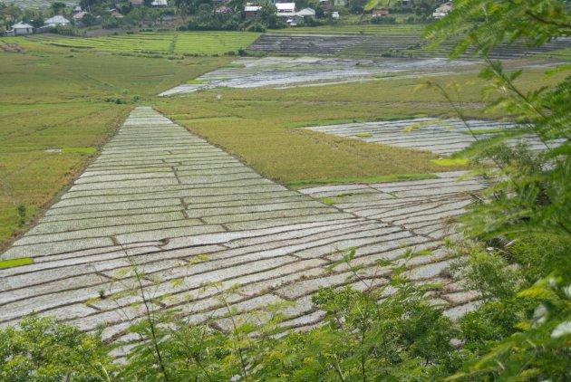 Spinnenweb rijst velden