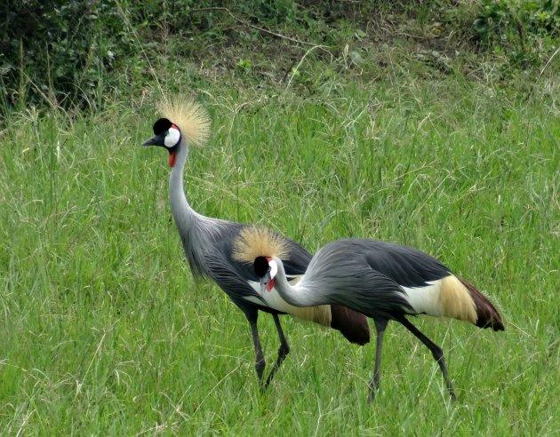 Paraderende kraanvogels