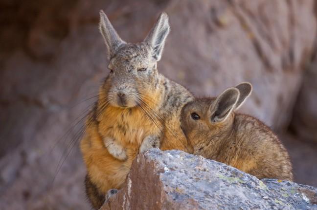 Moeder en kind viscacha