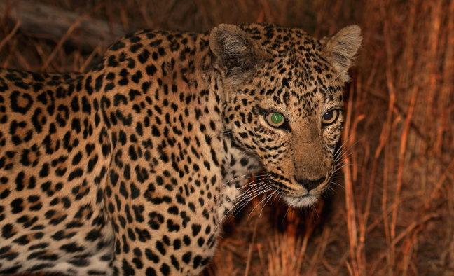 Jonge luipaard
