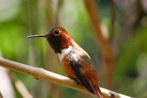 Teeny tiny Hummingbird