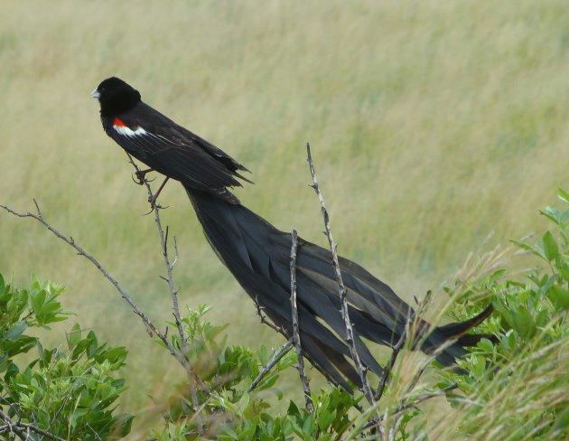Lange staart widowbird