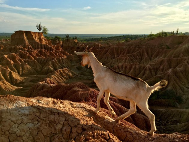 Goat on the edge Tatacoa