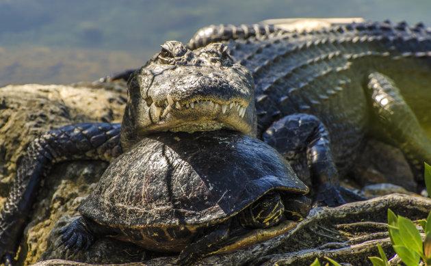 Florida Everglades: Alligator slaapt heerlijk samen met schildpad